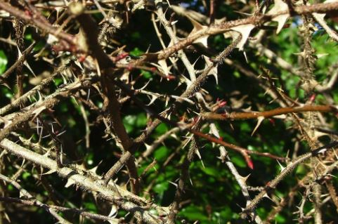 Thorns and Thickets